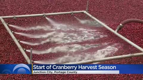 Wisconsin farmers mark start of cranberry harvest season after slow start