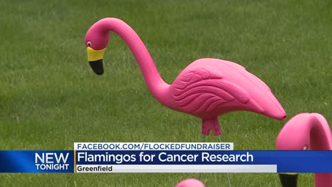 Organizers 'flock' yards with plastic flamingos for donations to the Leukemia & Lymphoma Society