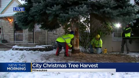 City of Milwaukee 2019 Christmas tree harvested for the holidays