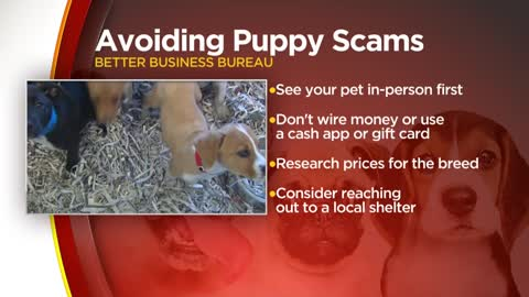Avoid puppy scams during COVID-19
