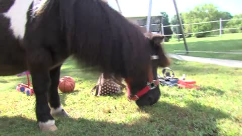 West Bend celebrity mini horse Tinker prepares for Salvation Army bell ringing season