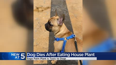 Local couple raising awareness after losing dog to toxic household...