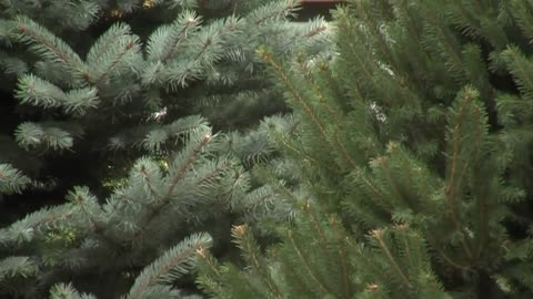 Wisconsin tree growers prepare for national contest