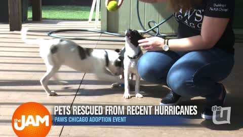 PAWS Chicago Pup Siblings Need a Home!